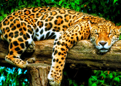 Photo Jaguar